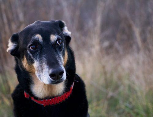 Anxiété de séparation chez le chien : conseils pour y remédier